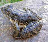Foothill yellow legged frog