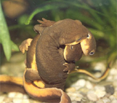 mating rough-skinned newts